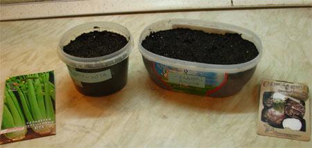 Выращивание корневого сельдерея на семена 653