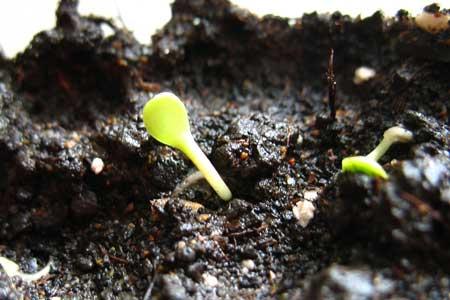 Посадка проросших семян астры