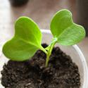 Распикированная капуста белокочанная