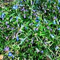 Синие лобелии
