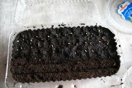 Астры выращивание из семян когда сажать на рассаду 94
