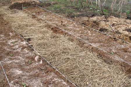 Посаженую капусту нужно припудрить смесью золы и табачной пыли