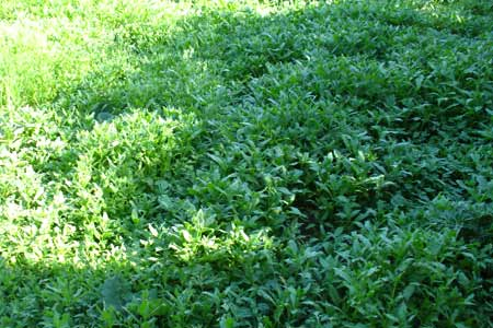 Трава на лужайке