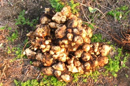 Урожай топинамбура