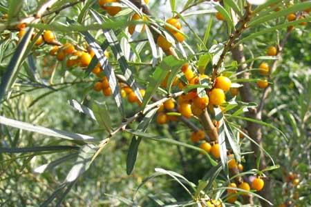 Облепиха - растение для живой изгороди