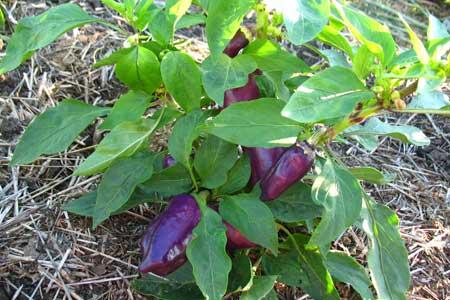 Перцы фиолетового цвета