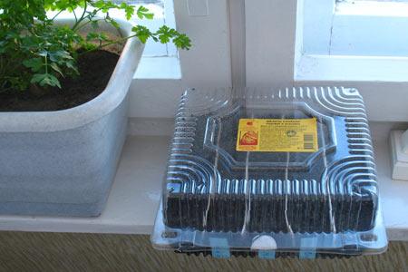 Коробочка с посаженными семенами земляники на подоконнике