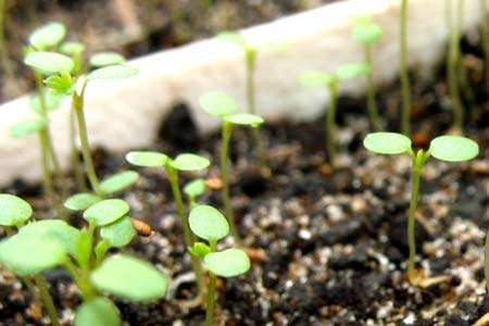 Выращивание ремонтантной земляники из семян. Десятый день