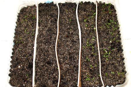 Трехдневные ростки земляники и клубники ремонтантной