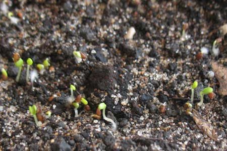 Проклюнувшиеся семена земляники