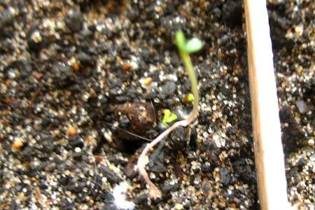 Изогнутый росток земляники