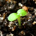 Трехдневный росточек клубники