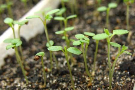 Ремонтантная земляника из семян. Десятый день