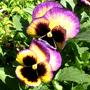 Выращивание Виолы