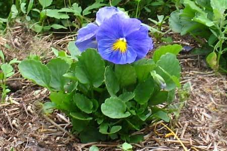 Цветок виола фото