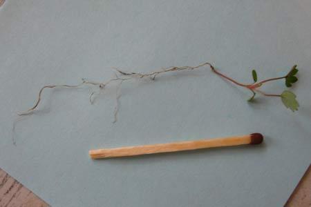 Кустик земляники из семян. 25 день
