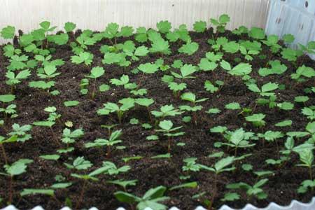 Земляника, посаженная из семян, 40-й день