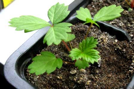 Земляника, посаженная из семян, 46-й день