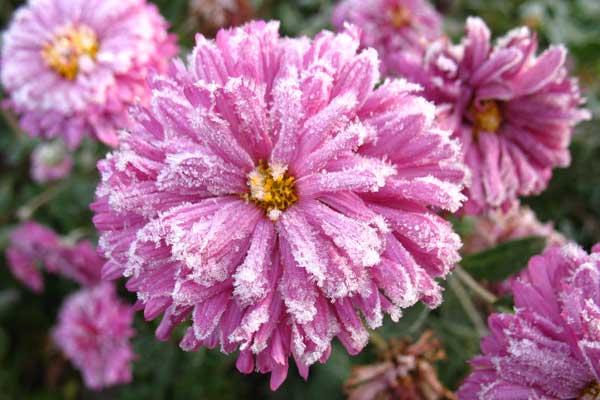 Замороженная хризантема