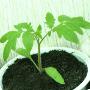 Выращиваем рассаду томатов