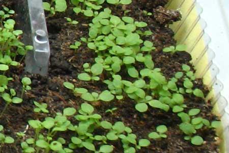 душистый табак выращивание из семян фото