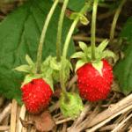 Первые ягоды земляники ремонтантной