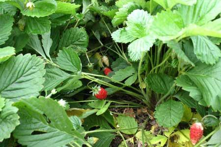 Спелые ягоды земляники ремонтантной