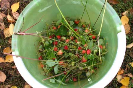 Последние ягодки земляники ремонтантной