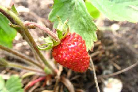 Первая ягодка земляники