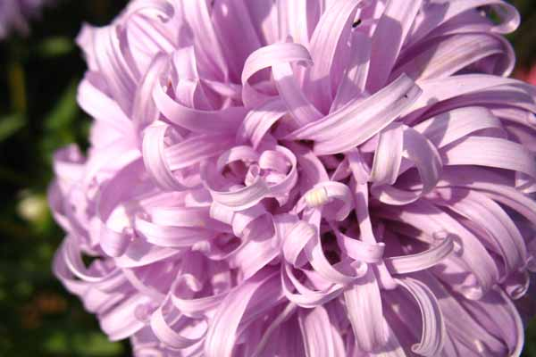 Астра фиолетовая резная